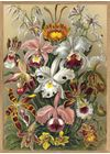 The Dybdahl Co - Poster - Cypripedium #8214 - Cypripedium