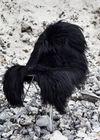 - Sheepskin - Sheepskin - Longhair black