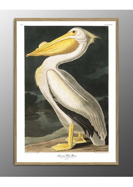 The Dybdahl Co - Poster - American White Pelican. Print #6504 - White Pelican