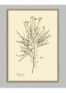 The Dybdahl Co - Poster - Cytisus Tener #3103 - Cytisus