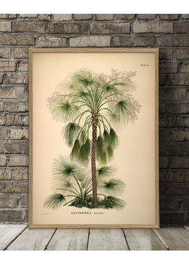 The Dybdahl Co - Poster - Livistona Humilis #3507 - Livistona