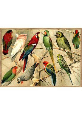 The Dybdahl Co - Poster - Parrots. Horizontal #2900H - Parrots