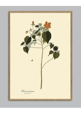 The Dybdahl Co - Poster - Sida Mauritiana #3107 - Sida