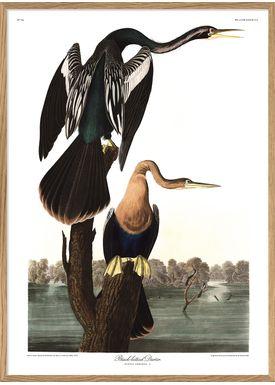 The Dybdahl Co - Poster - Black-bellied Darter #6528 - Darter