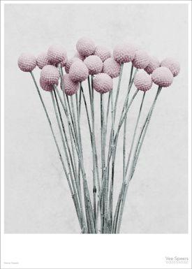 ViSSEVASSE - Poster - Vee Speers - Botanic Series - Craspedia